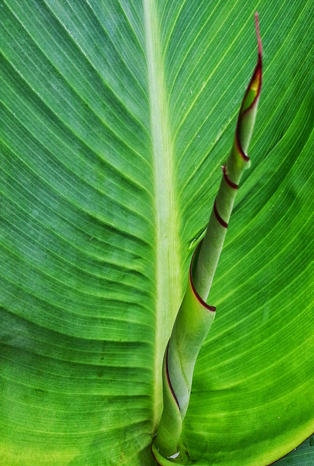 leaf unfurling