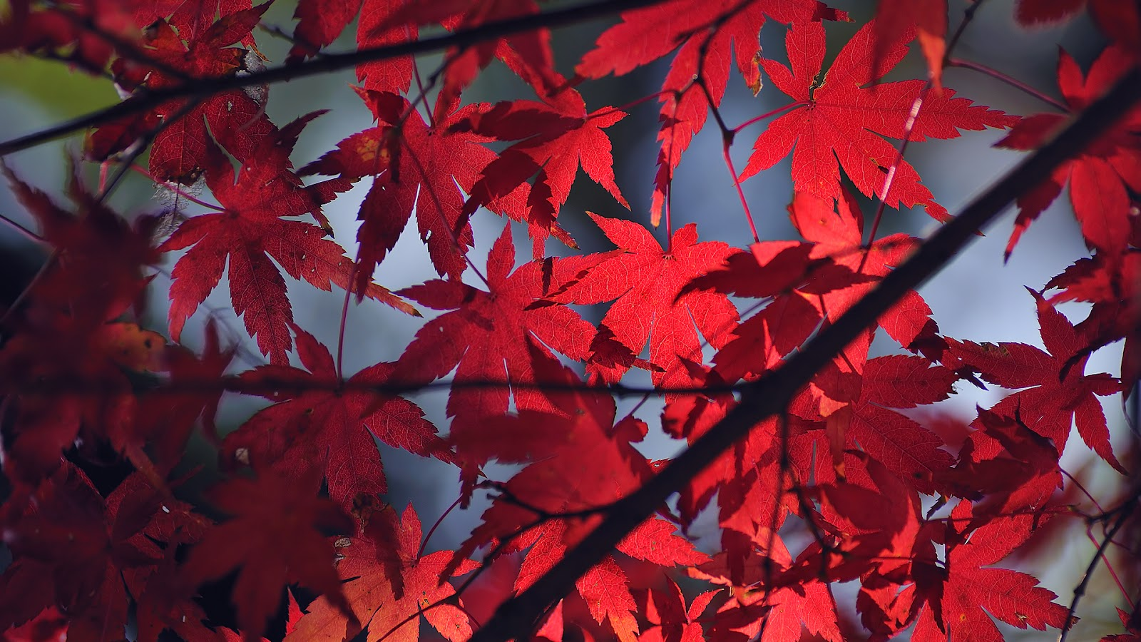 http://2.bp.blogspot.com/-6hk0l8wZVU4/T_WyFQ0jJYI/AAAAAAAACGE/TfnULNiT1tM/s1600/Colored_Leaves_Wallpaper_by_WindyLife.jpg