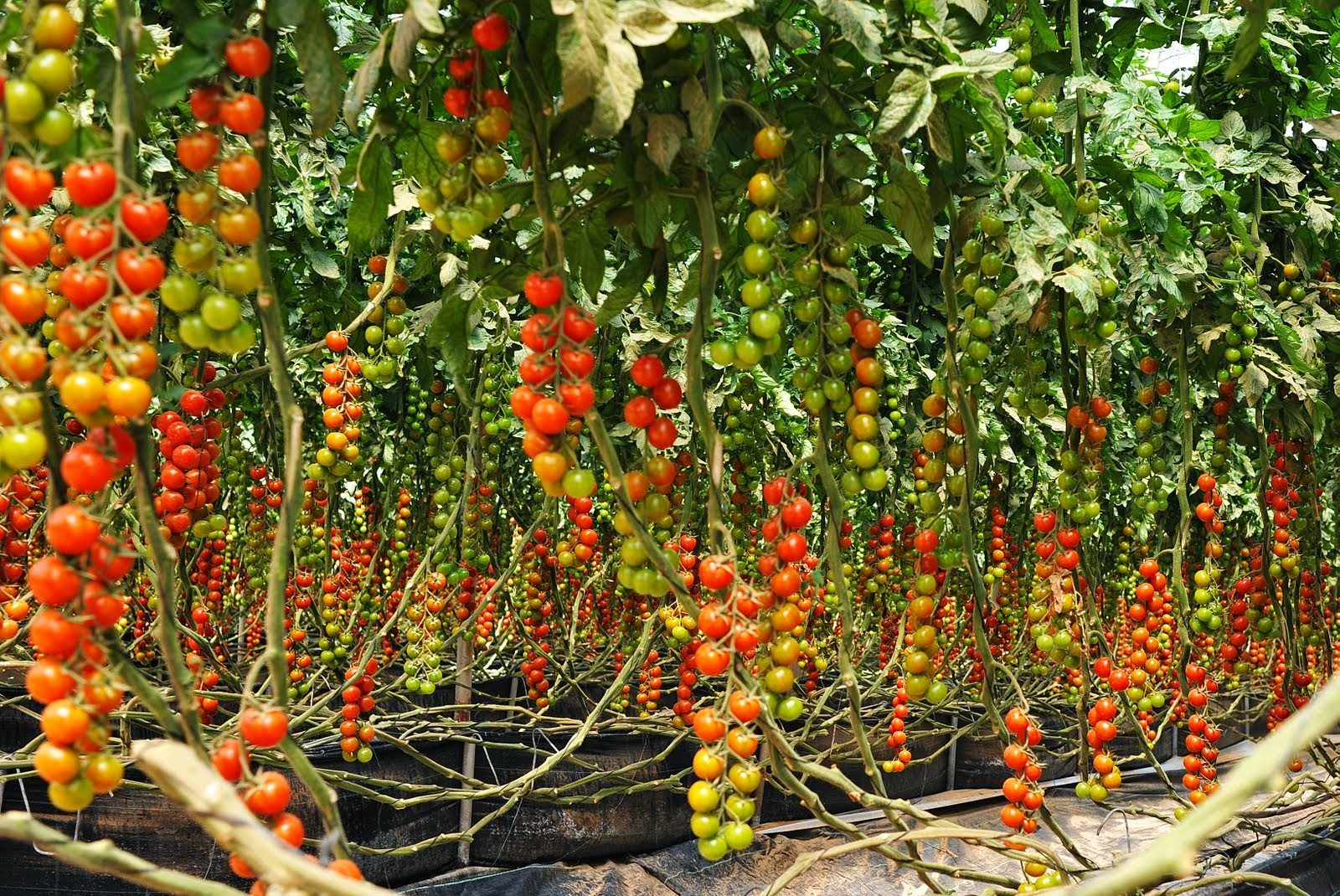 5 Simple Steps On How To Grow Tomatoes At Home