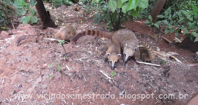 Quatis em Faria Lemos, divisa com Cotiporã
