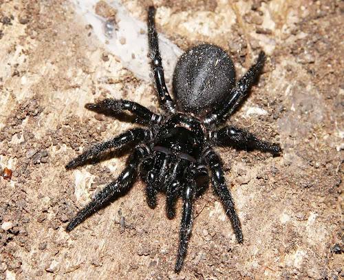 terceira aranha mais nenenosa do mundo
