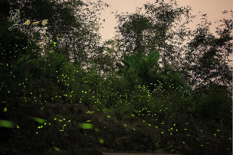 有木國小|有木國小賞螢|有木國小螢火蟲|三峽森林小學有木國小