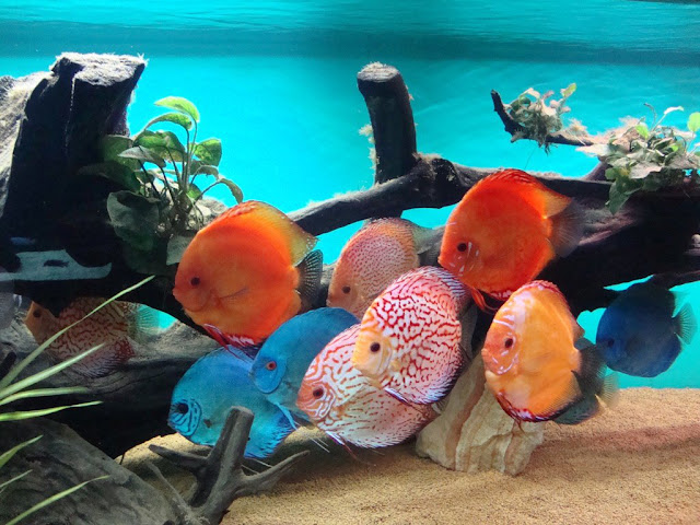 Dunia Ikan Hias - Discus