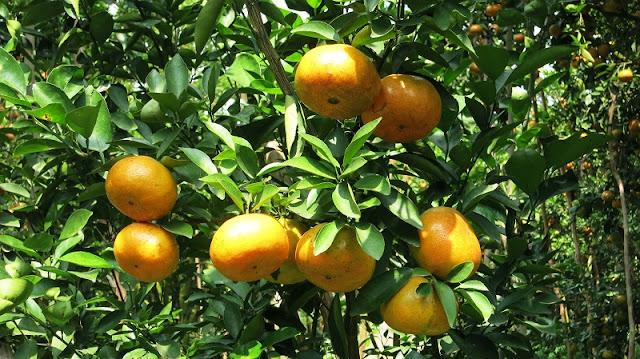 Lai Vung Mandarin Garden 1