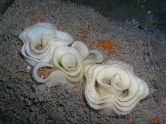Image of nudibranch eggs.