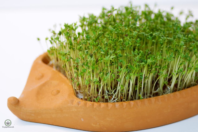 erntereife Kresse im Kresseigel - Gartenblog Topfgartenwelt