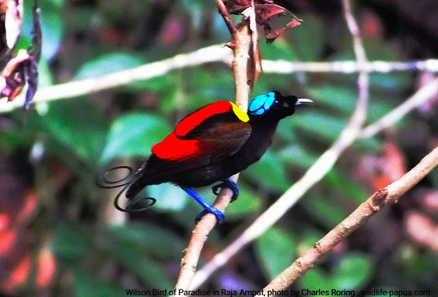 Birdwatching in rainforest of Raja Ampat, Indonesia