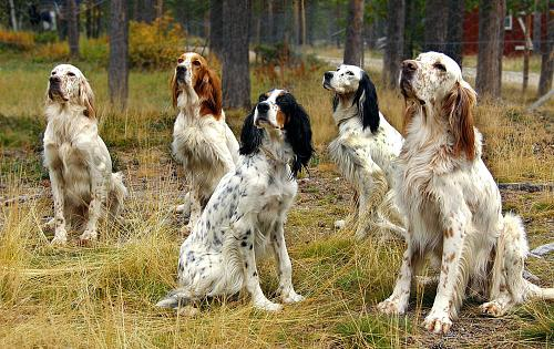 Everything About Your English Setter Luv My Dogs