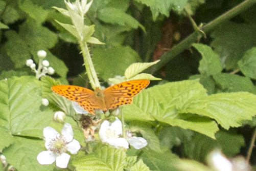 Silver Washed Fritilliary (very heavy crop)