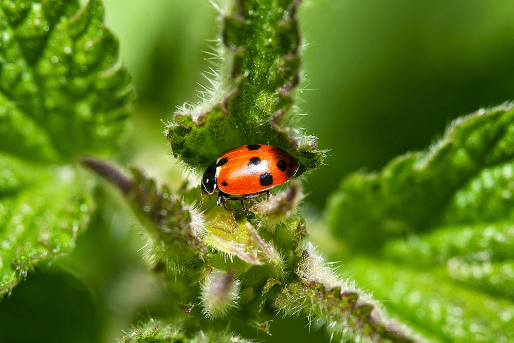 Adonis Ladybird - Loughton Valley Park, Milton Keynes