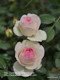 白系の薔薇縦構図写真