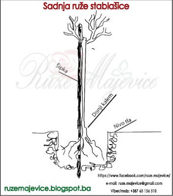 Ruže stablašice uputstvo za sadnju