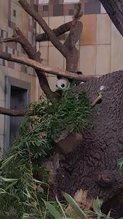 Baby panda at the Tiergarten Zoo in Vienna, Austria