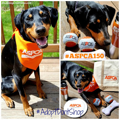 Penny Wishes the #ASPCA a Happy 150th and Wants to Remind You to #AdoptDontShop #RescueDog #RescuedPuppy #DobermanMix #LapdogCreations ©LapdogCreations