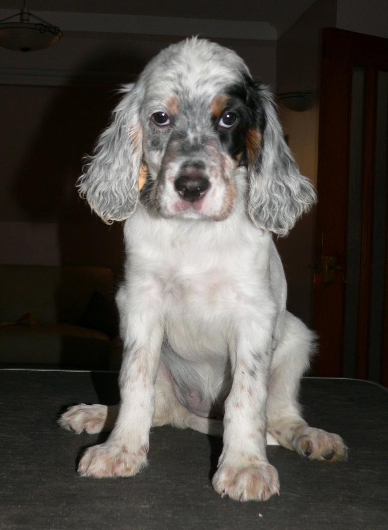 J And J Mastiffs Dogs Info: English Set...