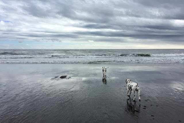 Dalmatian dogs on playing on the beach