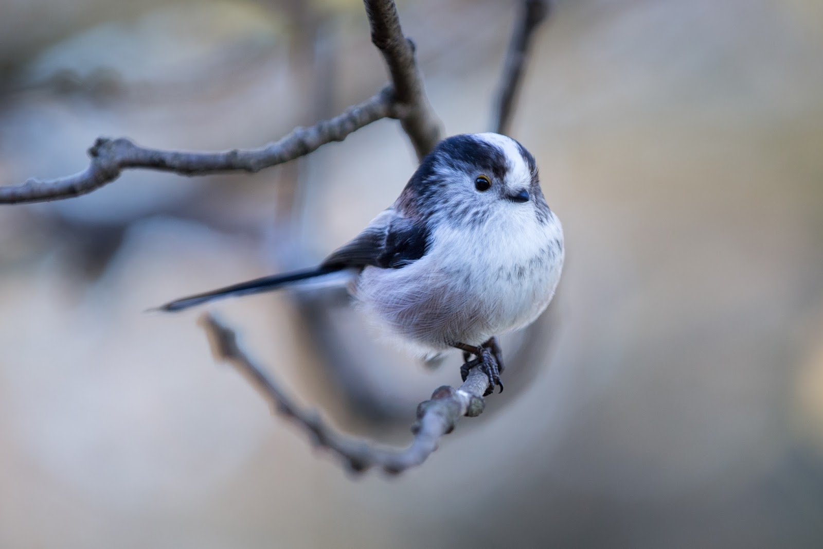Thorburn long-tailed tits