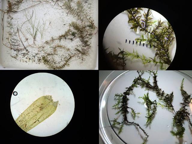 Neljä kuvaa vesikasveista mikroskoopissa, petrimaljalla tai tarjottimella