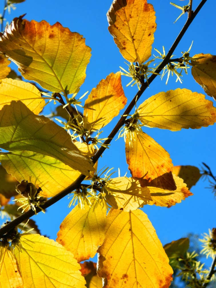 Hamamelis virginiana Witch hazel late fall flowers foliage against blue sky by garden muses-a Toronto gardening blog