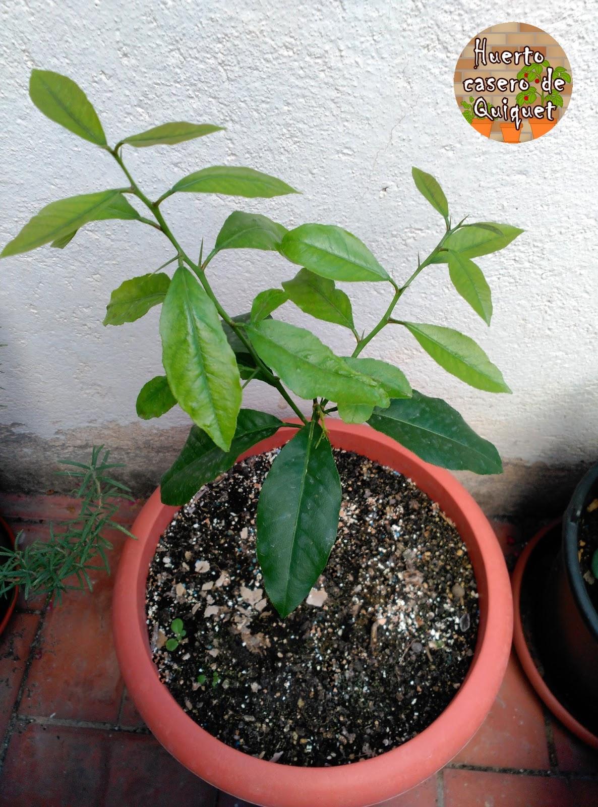 Huerto casero de quiquet como plantar un limonero en nuestro huerto casero - Plantar limonero en maceta ...