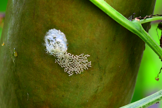 hatched insect larvae