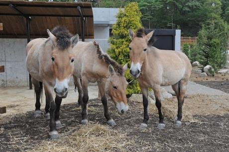珍しい!モンゴルに生息する野生の馬、モウコノウマ【n】多摩動物園