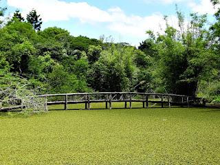 Algas no Lago da Ponte - Jardim Botânico de Porto Alegre