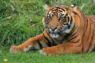 Harimau Sumatera Hewan Langka Di Indonesia dan Penjelasannya