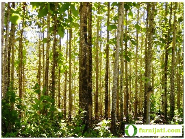 Pohon Kayu Jati Anda Harus Tahu Mebel Jati Jepara Asli