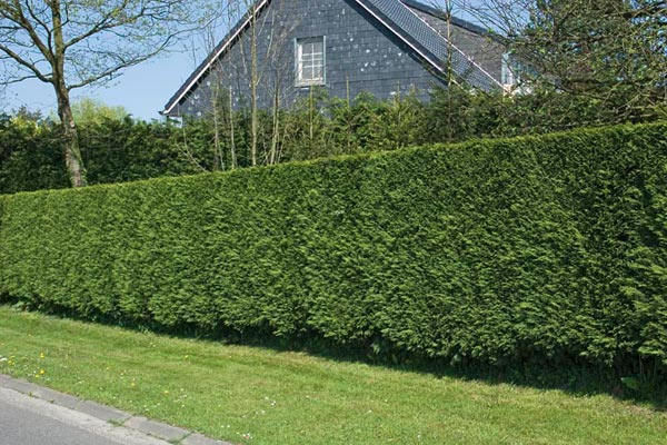 This Would Involve Heavy Pruning Twice A Year And Dave On Ladder With Hedge Trimmer Leyland Cypress