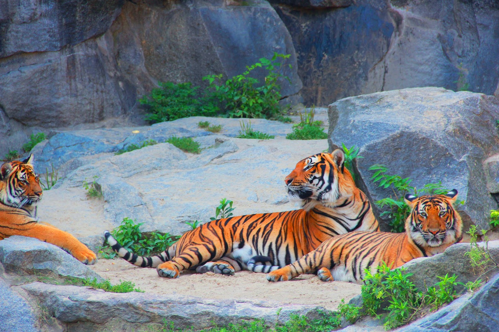 Picture of a tiger couple.