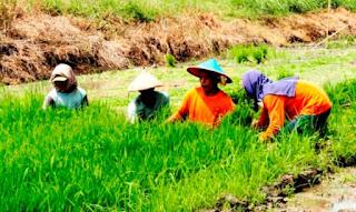 Lagi, Benih Padi Asal Tiongkok Mengandung Bakteri Berbahaya Telah Menyebar di Pulau Jawa
