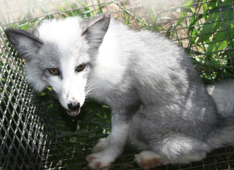 Animals Pictures Fox Babies