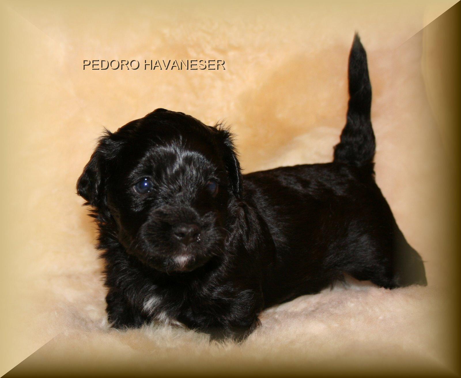 Havaneser Welpe Farbe schwarz PEDORO HAVANESER