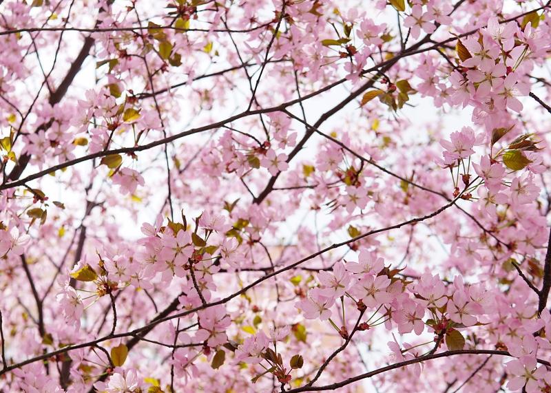 kirsikkapuu, kirsikankukat
