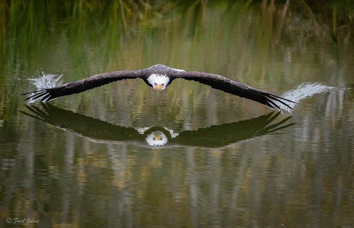An eagle soaring over a lake in Canada