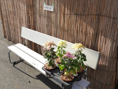 ひらかた菊花展 (枚方市役所周辺) 菊の販売 1000円