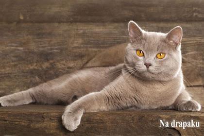 Brytyjczyk Kot Liliowy