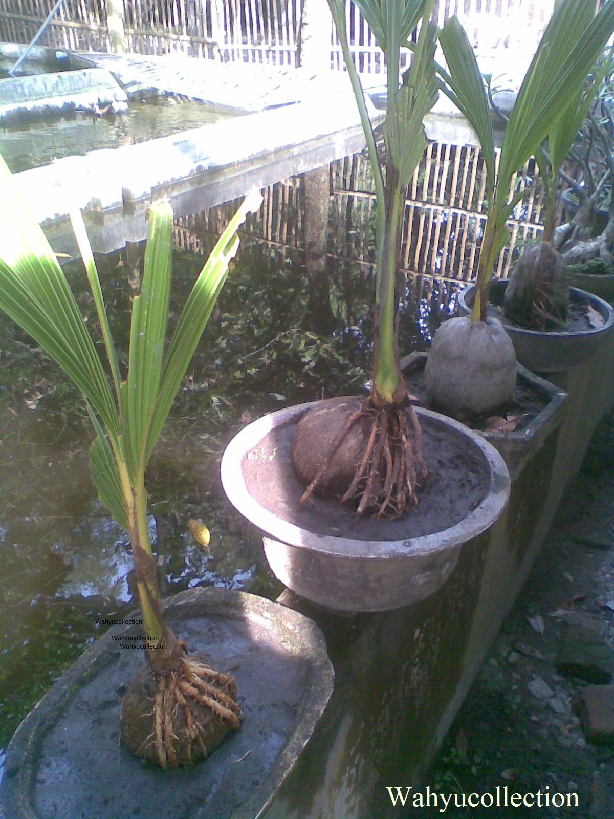 Vitamin Bonsai Kelapa Blogger Bonsai