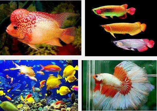 Perawatan Burayak Ikan Hias dalam Akuarium