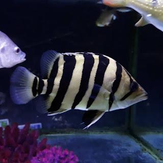 Harga ikan Datz Sumatra