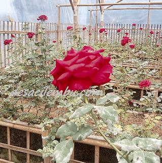 Kebun Mawarku