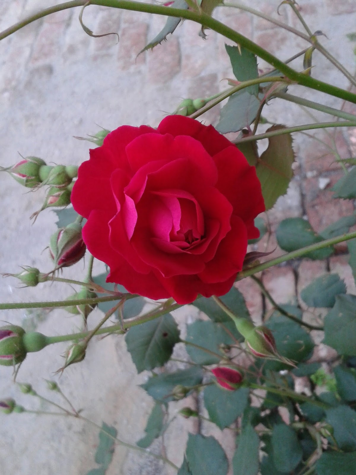Real Roses Pictures From Rose Garden Chandigarh