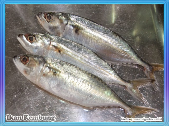 gambar ikan kembung