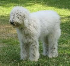 Dog Breeds Show: Komon...