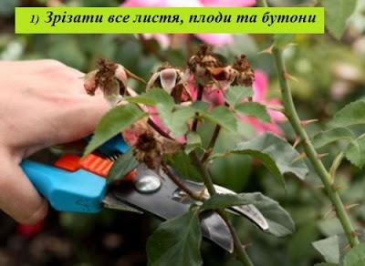 Етапи підготовки саджанця троянди до посадки: