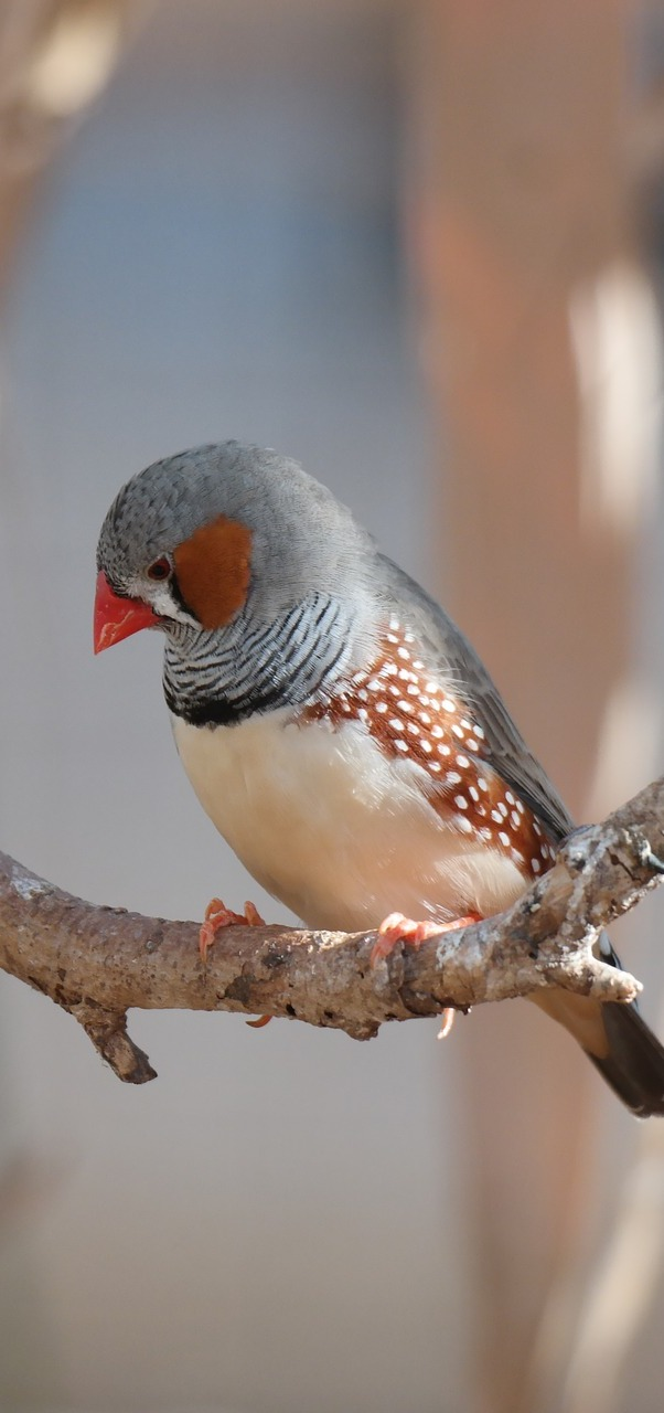 A beautiful zebra finch.