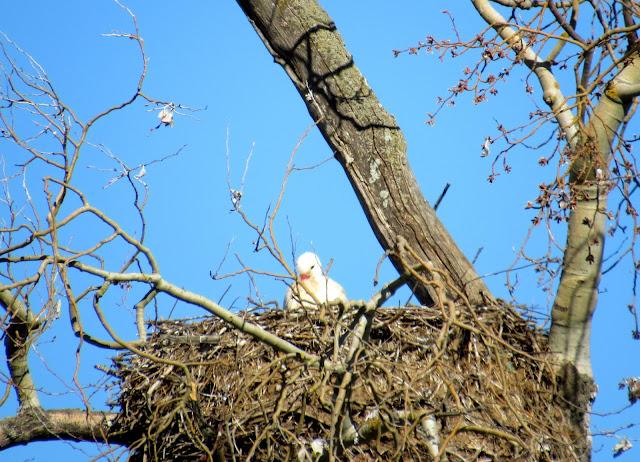 Cigoñino en el nido