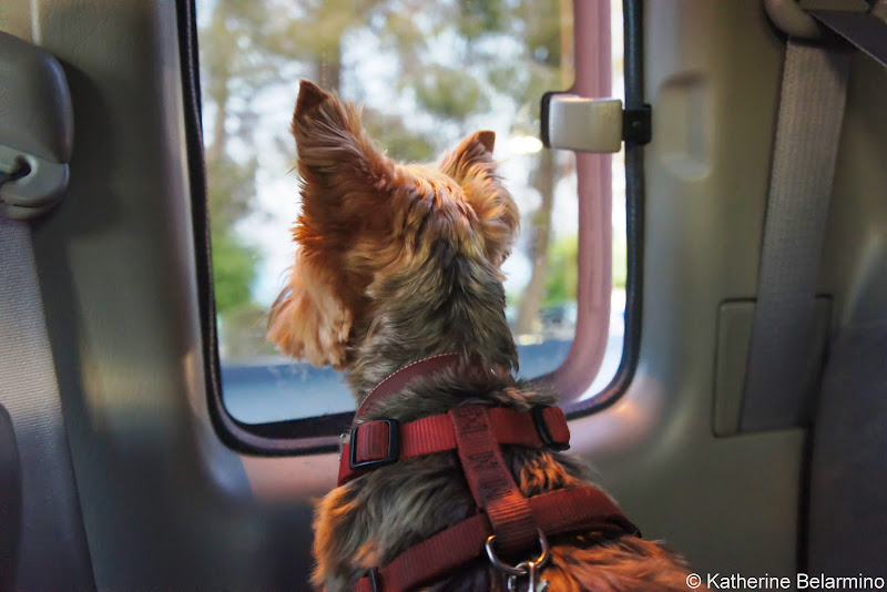 Henry in the Car Pet-Friendly Vacations Tips for Traveling with Dogs