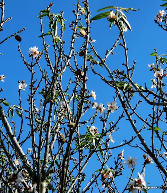 amendoeiras em flor no Vale dos Templos de Agrigento